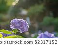 Hydrangea blooming at a shrine in Hakusan, Bunkyo-ku, Tokyo 82317152