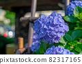 Hydrangea blooming at a shrine in Hakusan, Bunkyo-ku, Tokyo 82317165
