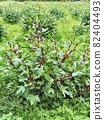 Roselle fruit 82404493