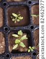 Pakuchi 幼苗 香菜 Pakuchi 草本植物 芽 園藝 農業幼苗 82462977