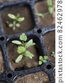 Pakuchi 幼苗 香菜 Pakuchi 草本植物 芽 園藝 農業幼苗 82462978