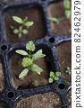 Pakuchi 幼苗 香菜 Pakuchi 草本植物 芽 園藝 農業幼苗 82462979