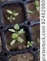 Pakuchi 幼苗 香菜 Pakuchi 草本植物 芽 園藝 農業幼苗 82462980