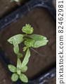 Pakuchi 幼苗 香菜 Pakuchi 草本植物 芽 園藝 農業幼苗 82462981