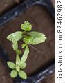 Pakuchi 幼苗 香菜 Pakuchi 草本植物 芽 園藝 農業幼苗 82462982