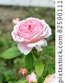 盛開的玫瑰花 82590111