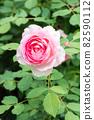 盛開的玫瑰花 82590112