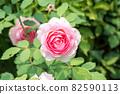 盛開的玫瑰花 82590113