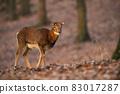 Female mouflon walking in forest in autumn sunlight 83017287