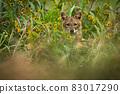 Golden jackal peeking out of long grass in summer. 83017290