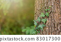 Green ivy growing on trunk with sunlight in background 83017300
