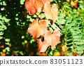 붉게 물든 산 포도의 잎 83051123