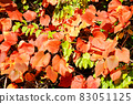 붉게 물든 산 포도의 잎 83051125