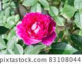 盛開的玫瑰花 83108044