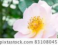 盛開的玫瑰花 83108045