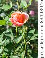 盛開的玫瑰花 83108046