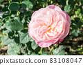 盛開的玫瑰花 83108047