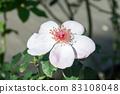 盛開的玫瑰花 83108048