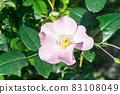 盛開的玫瑰花 83108049