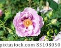 盛開的玫瑰花 83108050