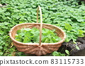 Gotu kola,據說是 21 世紀的神奇藥草 83115733