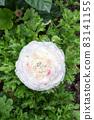 盛開的陸蓮花 83141155