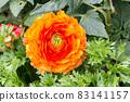 盛開的陸蓮花 83141157