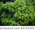 秋天的松針和芽苗(五台山公園的松樹) 83153401