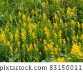 生長在河邊的一枝黃花 83156011