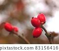 樹枝上的山茱萸紅色果實(開花樹果實特寫) 83156416