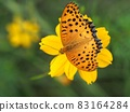 雄性印度貝母從硫磺宇宙花中吸取花蜜 83164284