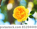 Rose flowers that shine in the sunlight through the trees 83204449