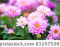 Dahlia flowers in full bloom 83207508