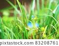"Commelina communis ""plant"" 83208761"