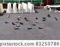 鴿子在瀝青上變暖 83250786