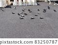 鴿子在瀝青上變暖 83250787