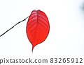 "Pastel-like ""colored cherry blossom leaves"" illustration image 83265912"